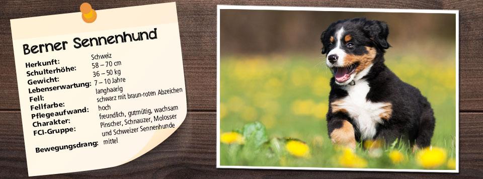 futter-fuer-berner-sennenhund