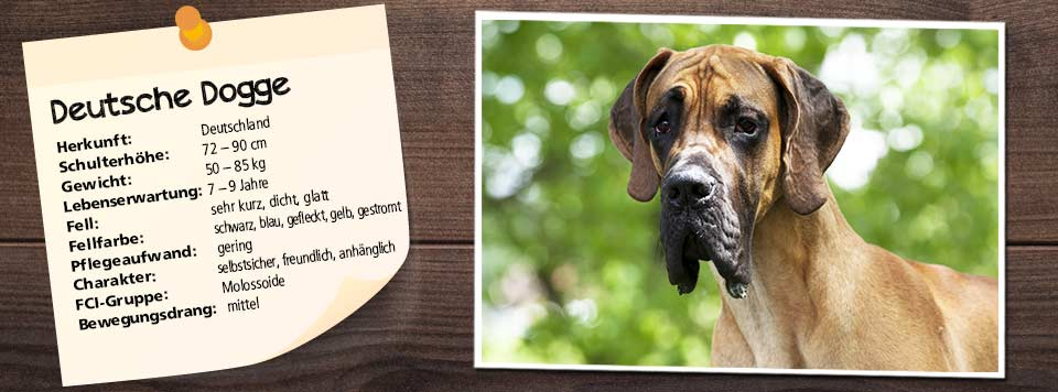 steckbrief-deutsche-dogge-futter