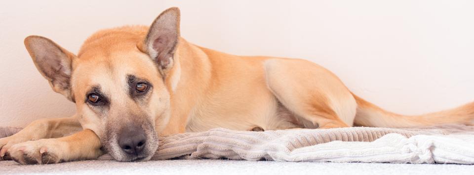 cauda-equina-syndrom-hund
