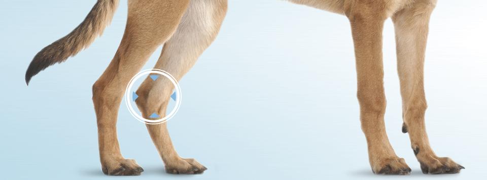 patellaluxation-beim-hund-erkennen-behandeln