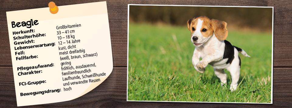 Das richtige Futter für den Beagle