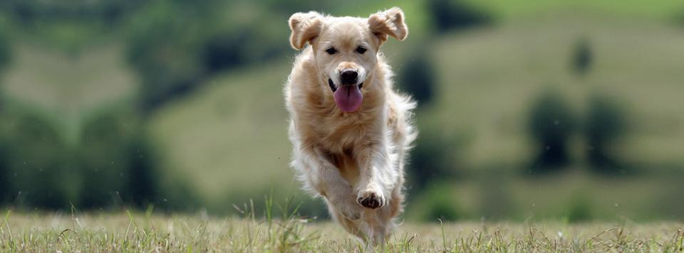 Wie Physiotherapie bei Hunden Schmerzen lindert